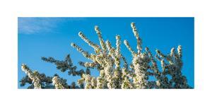 Flowering Pear Tree Number 2 by Steve Gadomski