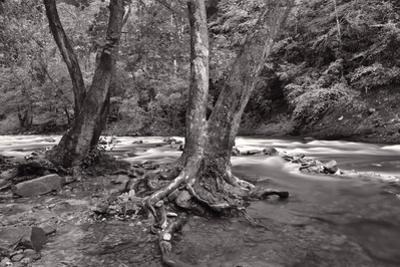 Maple Trees In Pigeon Forge River BW