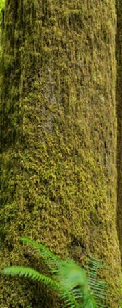 Moss Covered Tree Olympic National Park