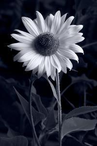 Sunflower In Black & White by Steve Gadomski