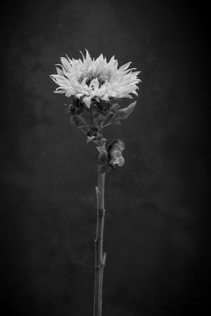 Sunflower Number 5 BW