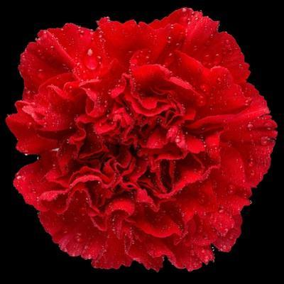 This Red Carnation
