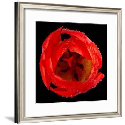 This Red Tulip