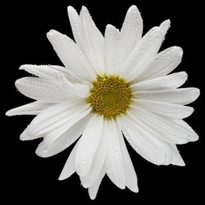 This White Daisy