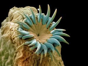 Dog Tapeworm Head, SEM by Steve Gschmeissner