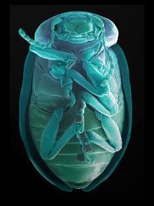 Leaf Beetle, SEM by Steve Gschmeissner