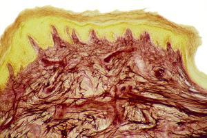 Skin Layers, Light Micrograph by Steve Gschmeissner