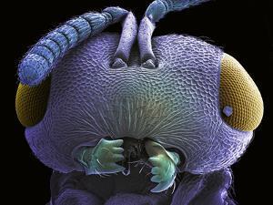 Wasp Head, SEM by Steve Gschmeissner