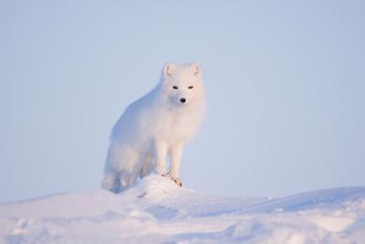 Arctic Fox Adult Pauses on a Snow Bank, ANWR, Alaska, USA