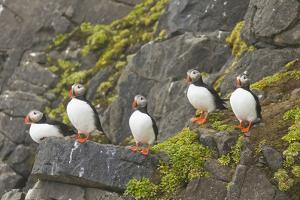 Atlantic Puffin Perched on a Cliff, Spitsbergen, Svalbard, Norway by Steve Kazlowski