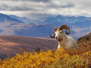 Dall Ram Resting On A Hillside, Mount Margaret, Denali National Park, Alaska, USA by Steve Kazlowski