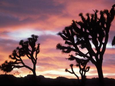 Joshua Tree at Sunset in Joshua Tree National Park, California, USA
