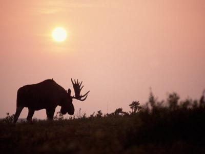 Moose Bull with Antlers Silhouetted at Sunset, Smoke of Wildfires, Denali National Park, Alaska