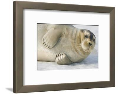 Norway, Spitsbergen, Greenland Sea. Bearded Seal Pup Rests on Sea Ice
