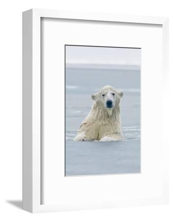 Polar Bear Boar Plays in the Water, Bernard Spit, ANWR, Alaska, USA