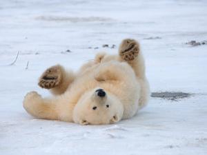 Polar Bear Cub Rolling Around, Arctic National Wildlife Refuge, Alaska, USA by Steve Kazlowski