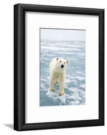Polar Bear in Search of Seals, Spitsbergen, Svalbard, Norway