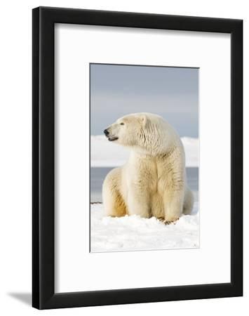 Polar Bear Sits Along Barrier Island, Bernard Spit, ANWR, Alaska, USA