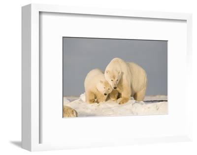 Polar Bear Sow with a 2-Year-Old Cub, Bernard Spit, ANWR, Alaska, USA