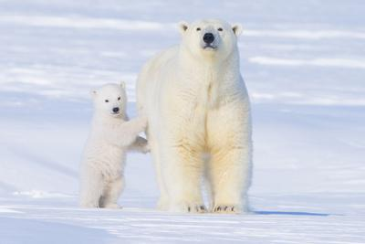 Polar Bear with Spring Cub, ANWR, Alaska, USA