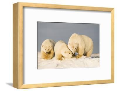 Polar Bear with Two 2-Year-Old Cubs, Bernard Spit, ANWR, Alaska, USA