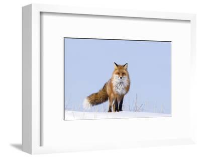 Red Fox (Vulpes Vulpes) Adult on the Arctic Coast, ANWR, Alaska, USA