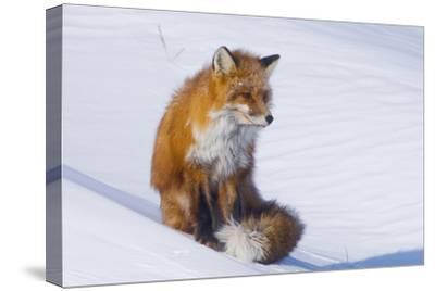 Red Fox (Vulpes Vulpes) Adult Rests on a Snow Bank, ANWR, Alaska, USA