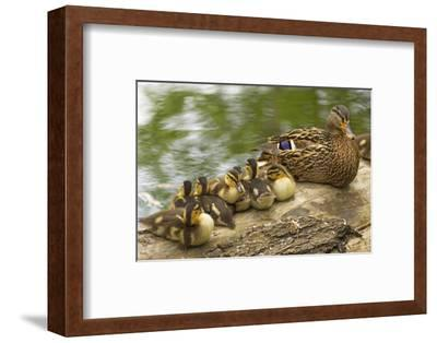 USA, Washington, Seattle. Mallard duck with ducklings on a log.
