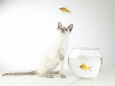 Siamese kitten with jumping goldfish by Steve Lupton