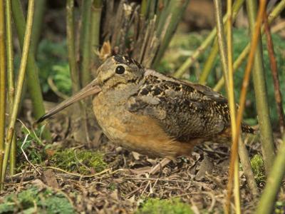 American Woodcock (Scolopax Minor), North America