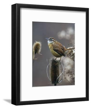 Carolina Wren (Thryothorus Ludovicianus) on Teasel, South Carolina State Bird. USA