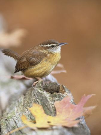 Carolina Wren (Thryothorus Ludovicianus), South Carolina State Bird. USA