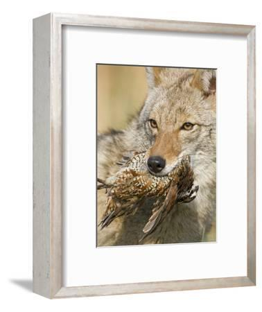 Coyote (Canis Latrans) with Bobwhite Quail Prey in its Mouth, North America
