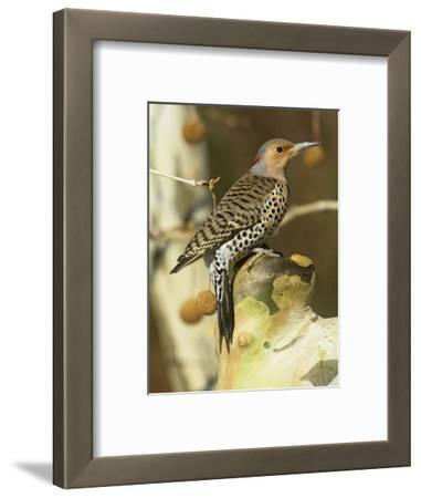 Female Northern or Red-Shafted Flicker in a Sycamore Tree (Colaptes Auratus), North America
