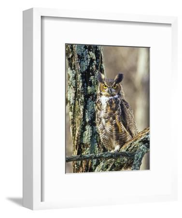 Great Horned Owl (Bubo Virginianus), North America