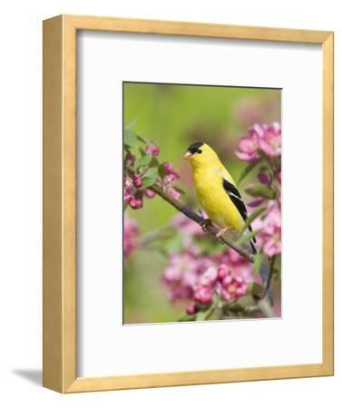 Male American Goldfinch (Carduelis Tristis) in Crabapple Blossoms