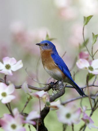 Male Eastern Bluebird in Flowering Dogwood Tree (Sialia Sialis), North America. Missouri State Bird by Steve Maslowski