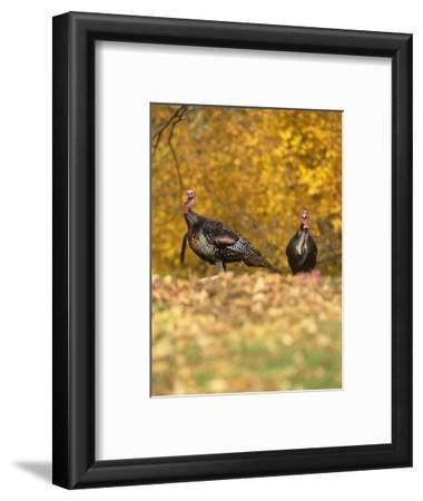 Male or Tom Wild Turkeys in the Fall Woods (Meleagris Gallopavo), North America