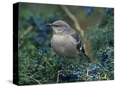 Northern Mockingbird in Red Cedar (Mimus Polyglottos), North America