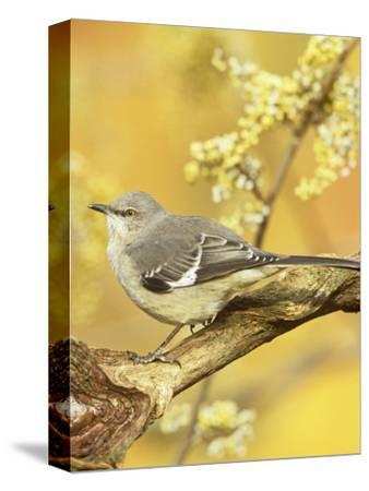 Northern Mockingbird (Mimus Polyglottos), North America