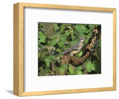 Northern Mockingbird (Mimus Polyglottos), North America
