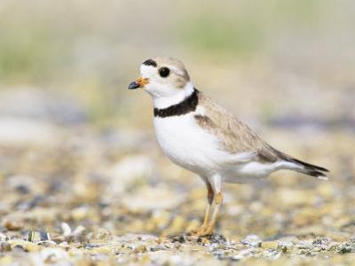 Piping Plover by Steve Maslowski