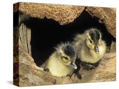 Two Wood Duck Young in their Nest Hole (Aix Sponsa), North America