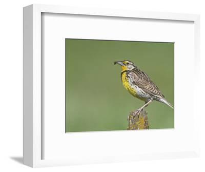 Western Meadowlark with an Insect in its Bill (Sturnella Neglecta), North America