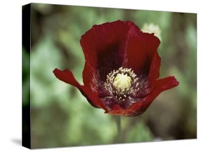 Flower of an Opium Poppy