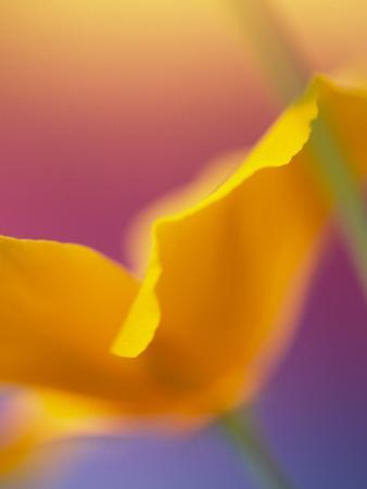 Abstract Close-up of Poppy Flower