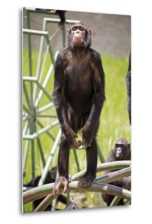 Chimpanzee (Pan Troglodytes) Standing On Hind Legs Looking Out At Visitors
