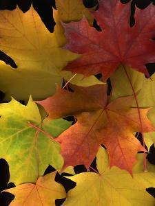 Autumn Maple Leaves by Steve Terrill