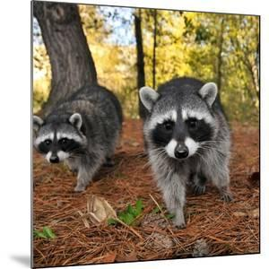 Curious Raccoons by Steve Terrill