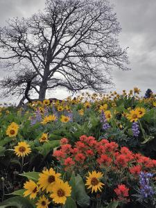 Oregon, Columbia River Gorge. Oak Tree and Wildflowers by Steve Terrill